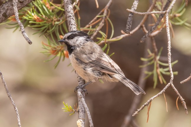 mountain-chickadee