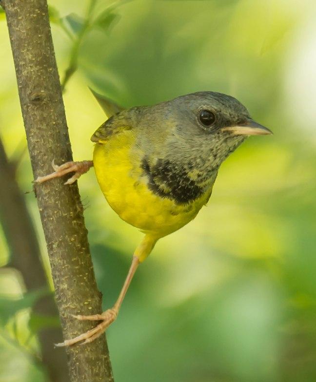 mourning-warbler