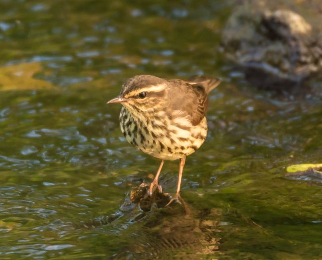 northern-waterthrush-pheasant-branch-5-17-16-jeff-galligan-26-9