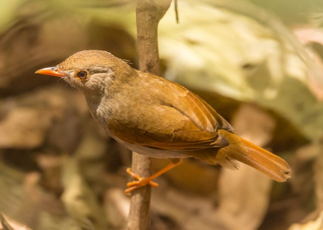orange-billed-solitary-thrush