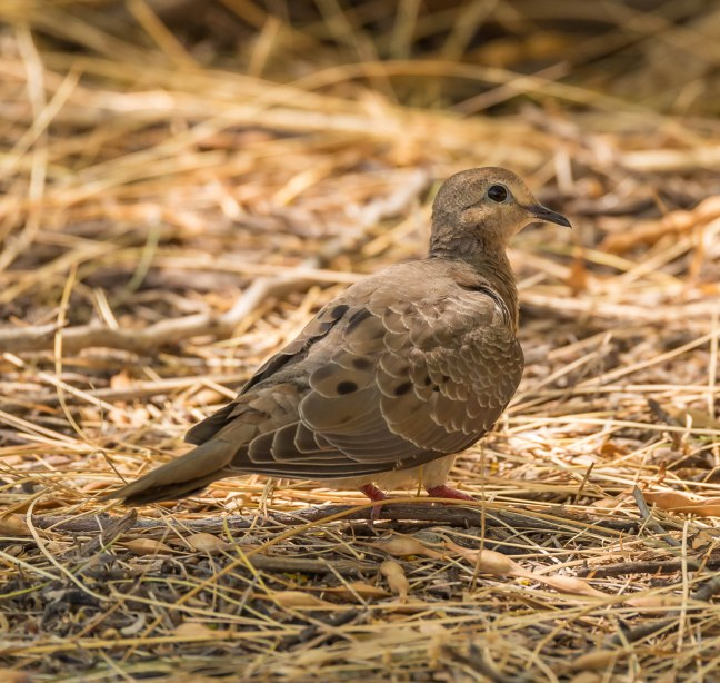 ruddy-ground-dove-kiwanis-park-gilbert-water-ranch-7-13-16-7