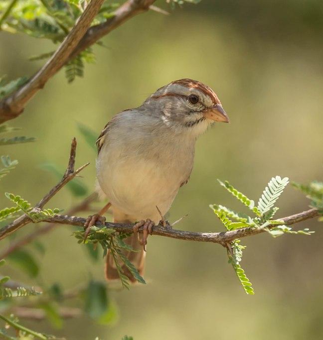 rufous-crowned-sparrow-el-aribabi-5