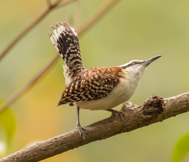 rufous-naped-wren