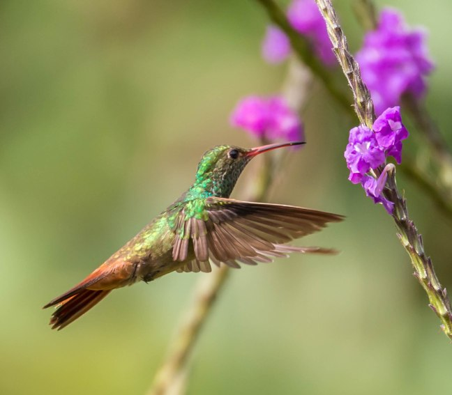 rufous-tailed-hummingbird
