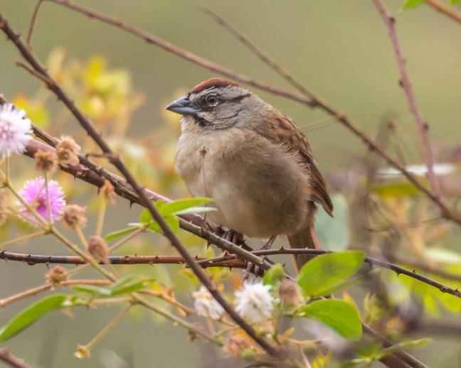 rusty-sparrow