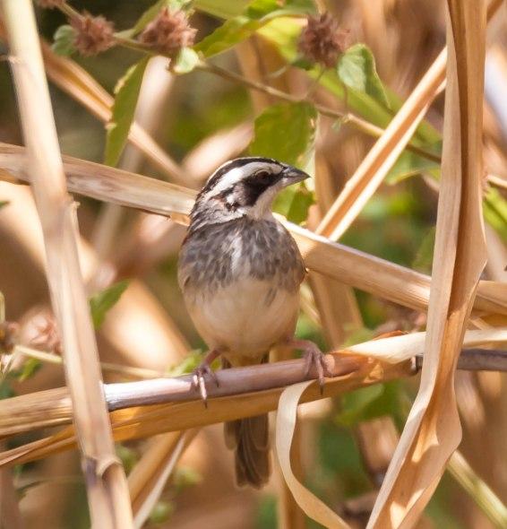 stripe-headed-sparrow