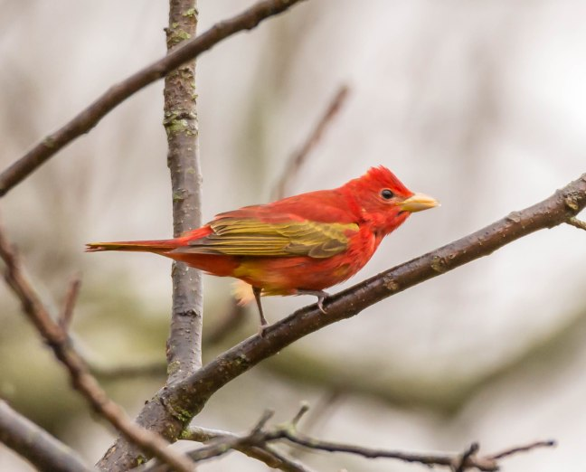 summer-tanager-1-of-1-1