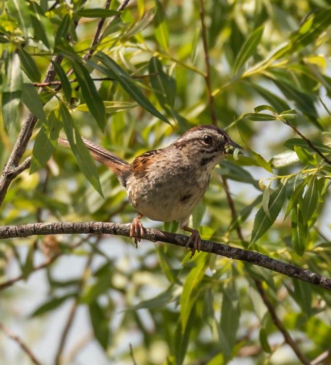 swamp-sparrow