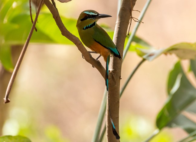 turquoise-browed-motmot-2-27
