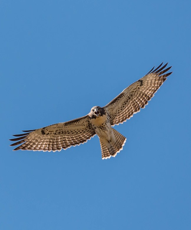 western-red-tailed-hawk