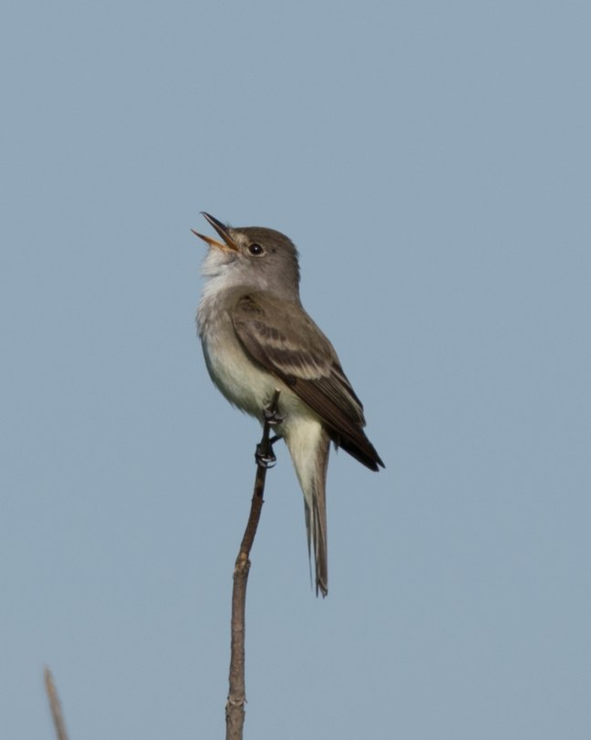 willow-flycatcher