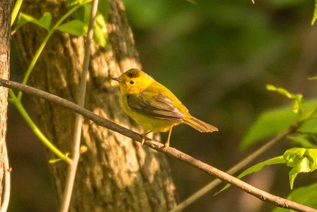 wilsons-warbler-pheasant-branch-5-17-16-jeff-galligan-7-2