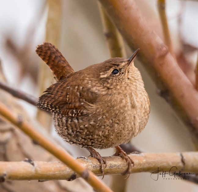 winter-wren12-30-16-17
