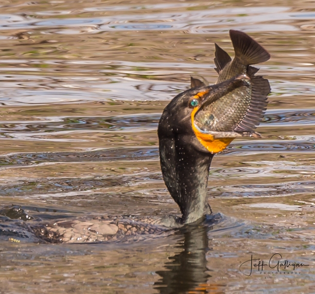 Cormorant with fish 2-25-18 (1 of 1)